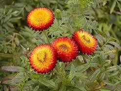 """Flor de papel (""""Helichrysum bracteatum"""") 4"""