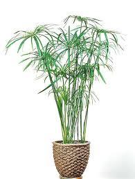 Paragüitas («Cyperus alternifolius»)