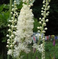 Black Cohosh (Cimifuga racemosa)