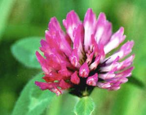 Red Clover - Trifolium pratense 2
