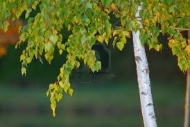 Abedul - (Betula)