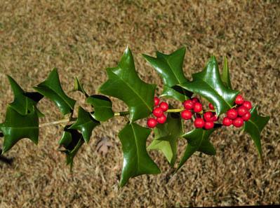 Plantas para Navidad