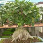 Galería de fotos de bonsáis 1