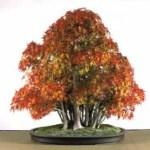 Galería de fotos de bonsáis 10