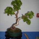 Galería de fotos de bonsáis 12