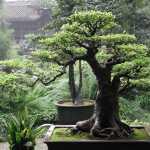 Galería de fotos de bonsáis 2