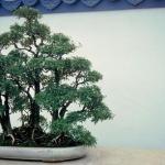 Galería de fotos de bonsáis 7