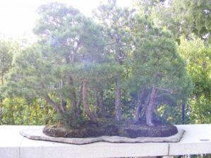 Galería de fotos de bonsáis 9