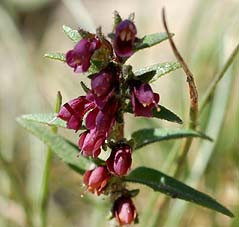 Odontites granatensis