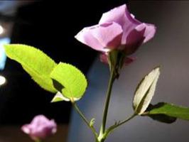 Las rosas azules existen