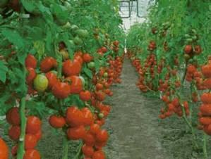 Cuidados de las tomateras