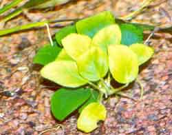 Enfermedades de plantas: Clorosis