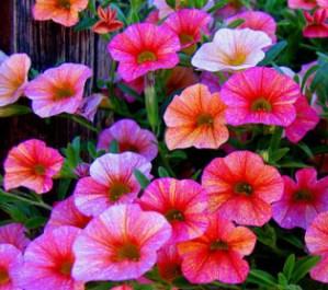 Conseguir petunias con más flores 1