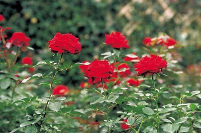 Combatir al pulgón en los rosales