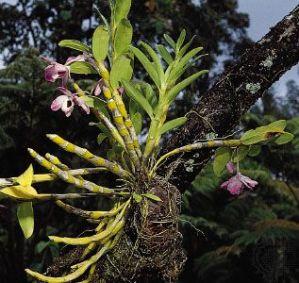 Tipos de orquídeas