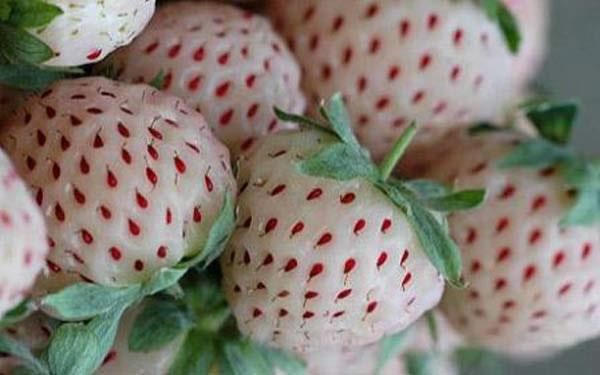 Pineberry, las fresas blancas