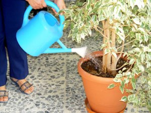 "Recuperar plantas ""aguadas"""