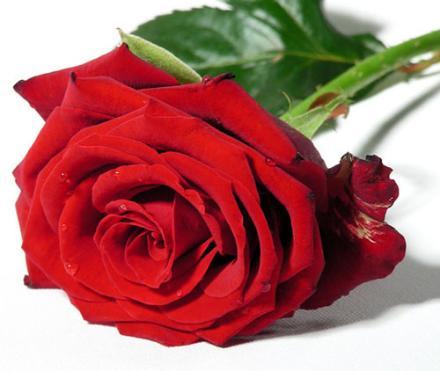 Recuperar rosas marchitas