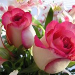 Wallpapers de rosas 4