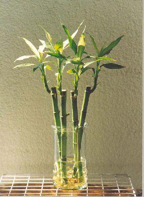Bambú, ¿en tierra o en agua?
