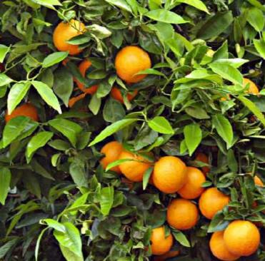 Consejos para plantar cítricos