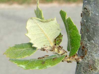 Proteger las plantas de pulgones y cochinillas