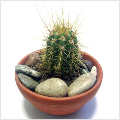 Trasplantar cactus