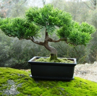 Tiestos para bonsái, ¿normales o especiales?