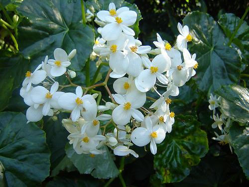 Begonia blanca