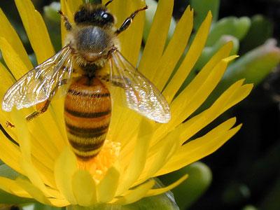 Datos sobre las abejas