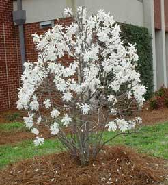 Semillas de magnolio