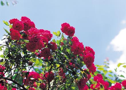 Plantar rosas en otoño