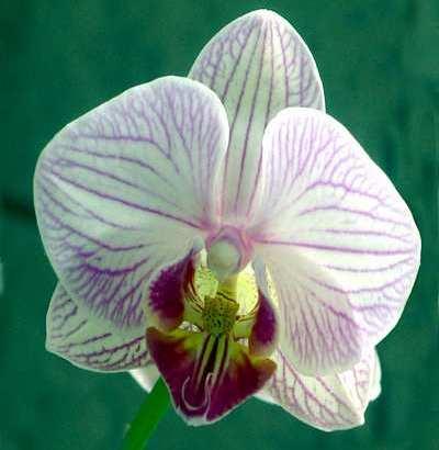 Las semillas de orquídeas
