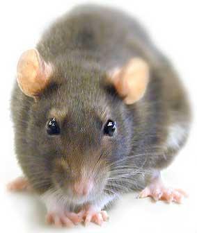 Consejos contra roedores