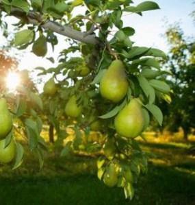 Consejos para árboles frutales