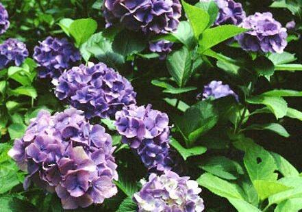 Consejos sobre las hortensias