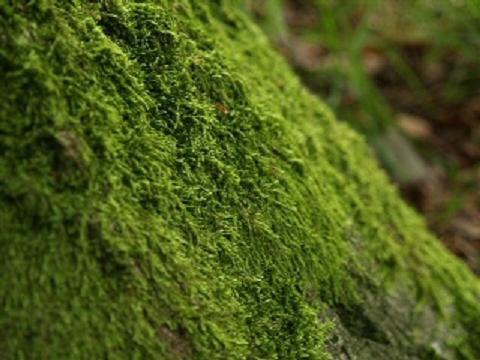 Musgo usado como césped