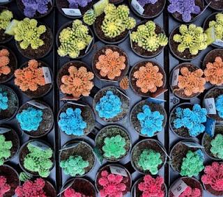 cactus de colores