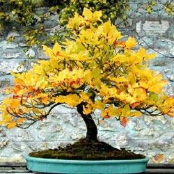 Estilos de bonsáis 6