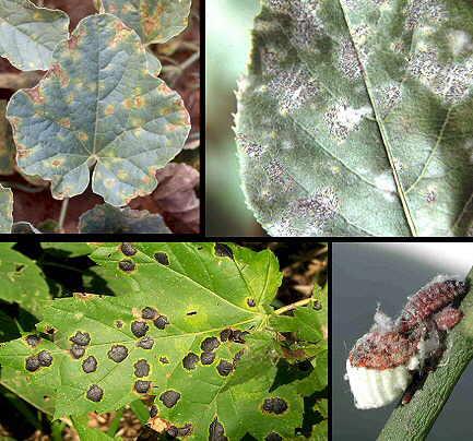 Enfermedades de las plantas: Hongos