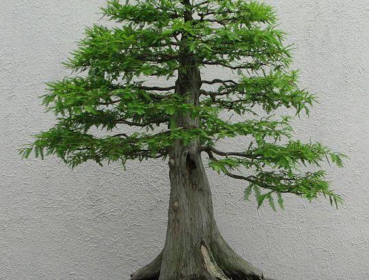 Aclimatar el bonsái al interior