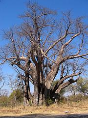 Baobab: Adansonia digitada