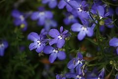 Lobelia azul