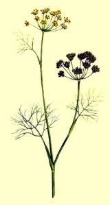 Hinojo - (Foeniculum vulgare)