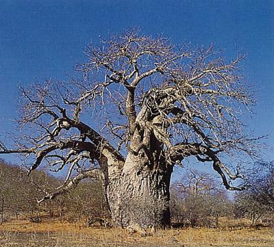 Baobab, un árbol espectacular