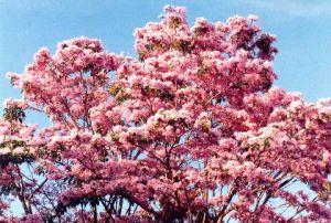 Apamate - (Tabebuia rosea)