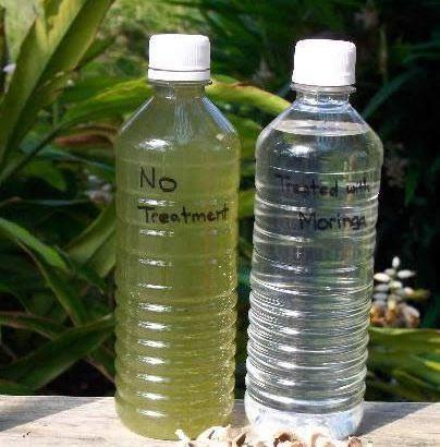 La Moringa, el árbol que limpia el agua