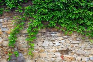 La poda de plantas trepadoras