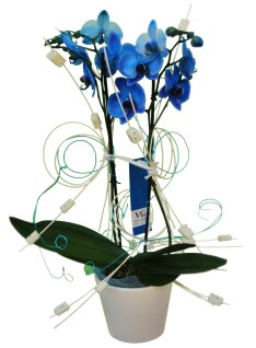 original-orquidea-azul