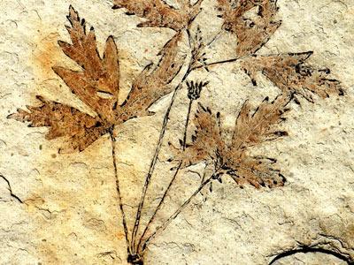 La flor más antigua